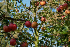 Manzanas maduras, hermosas en las ramas de los manzanos Imágenes de archivo libres de regalías