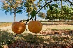 Manzanas maduras, hermosas en las ramas de los manzanos Imagen de archivo libre de regalías