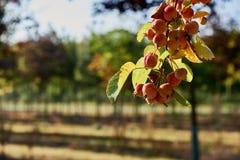 Manzanas maduras, hermosas en las ramas de los manzanos Fotos de archivo libres de regalías