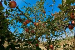 Manzanas maduras, hermosas en las ramas de los manzanos Imagenes de archivo