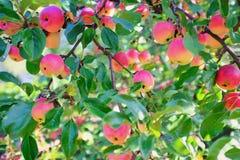 Manzanas maduras que crecen en una rama de ?rbol imagen de archivo