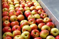Manzanas maduras que son procesadas y transportadas para embalar Foto de archivo libre de regalías
