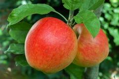 Manzanas maduras rojas grandes en el manzano, cosecha fresca del appl rojo Imagen de archivo