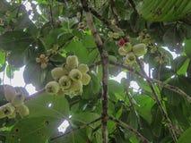 Manzanas malayas Foto de archivo