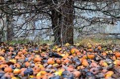 Manzanas muertas Fotografía de archivo