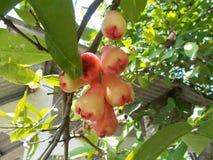 Manzanas o pomarrosas 3 de Java Fotos de archivo