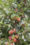 Manzanas ocultadas Foto de archivo libre de regalías