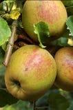 Manzanas orgánicas Imagen de archivo libre de regalías