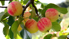 Manzanas orgánicas Foto de archivo
