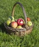Manzanas orgánicas en cesta en hierba del verano, en el fondo de la hierba verde Fotos de archivo