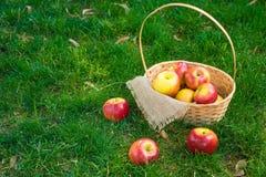 Manzanas orgánicas en cesta en hierba del verano Manzanas frescas en naturaleza fotografía de archivo libre de regalías