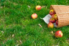 Manzanas orgánicas en cesta en hierba del verano Manzanas frescas en naturaleza imagenes de archivo