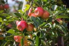 Manzanas orgánicas en embalaje Fotos de archivo libres de regalías