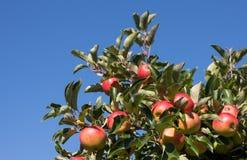 Manzanas orgánicas en embalaje Foto de archivo libre de regalías