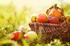 Manzanas orgánicas en hierba del verano Foto de archivo libre de regalías