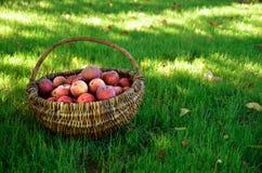 Manzanas orgánicas en la cesta de mimbre Fotos de archivo libres de regalías