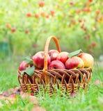 Manzanas orgánicas en una cesta Fotos de archivo libres de regalías
