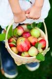Manzanas orgánicas en una cesta Imagenes de archivo