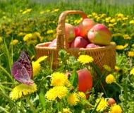 Manzanas orgánicas en una cesta al aire libre. Imagen de archivo libre de regalías