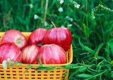 Manzanas orgánicas frescas rojas en la cesta en la hierba verde Imagen de archivo libre de regalías