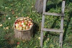 Manzanas orgánicas, maduras en cesta en hierba del verano Manzanas frescas adentro Imágenes de archivo libres de regalías