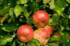 Manzanas orgánicas rojas Fotos de archivo