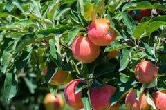 Manzanas orgánicas rojas maduras en el árbol Imagen de archivo