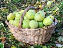 Manzanas orgánicas verdes Fotos de archivo libres de regalías