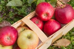 Manzanas orgánicas en una cesta de madera Imagen de archivo libre de regalías
