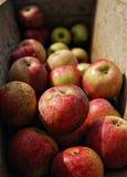 Manzanas para la sidra fresca Fotos de archivo
