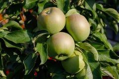 Manzanas polacas verdes en la rama fotos de archivo