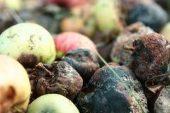 Manzanas putrefactas Fotos de archivo libres de regalías
