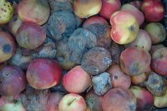 Manzanas putrefactas Foto de archivo libre de regalías