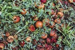 Manzanas putrefactas en la hierba Imágenes de archivo libres de regalías