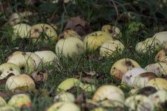 Manzanas putrefactas en la tierra Foto de archivo libre de regalías
