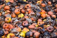 Manzanas putrefactas muertas que mienten en la tierra en invierno Imagenes de archivo