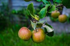 Manzanas que crecen en un árbol del jardín Fotos de archivo libres de regalías