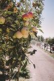 Manzanas que crecen en un manzanar fotografía de archivo