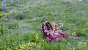 Manzanas que se derraman fuera de una cesta en una hierba verde por la mañana Imágenes de archivo libres de regalías