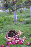 Manzanas que se derraman fuera de una cesta en una hierba verde por la mañana Fotografía de archivo
