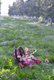 Manzanas que se derraman fuera de una cesta en una hierba verde por la mañana Foto de archivo