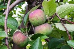 Manzanas rayadas rojas del cortland en un árbol Imagen de archivo