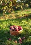 Manzanas recientemente escogidas en la huerta Foto de archivo libre de regalías