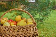Manzanas recientemente recogidas en la cesta fotografía de archivo libre de regalías
