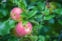 Manzanas red delicious frescas Fotos de archivo
