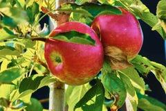 2 manzanas rojas Imagenes de archivo