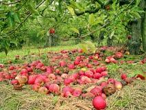 Manzanas rojas caidas en la hierba debajo del árbol en un jardín Imagen de archivo