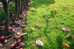 Manzanas rojas caidas en la hierba en el jardín Foto de archivo