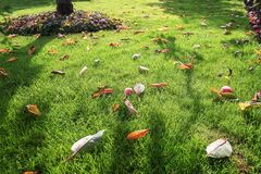 Manzanas rojas caidas en la hierba en el jardín Fotos de archivo