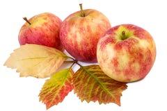 Manzanas rojas con las hojas del otoño Todavía de la caída vida Imagen de archivo